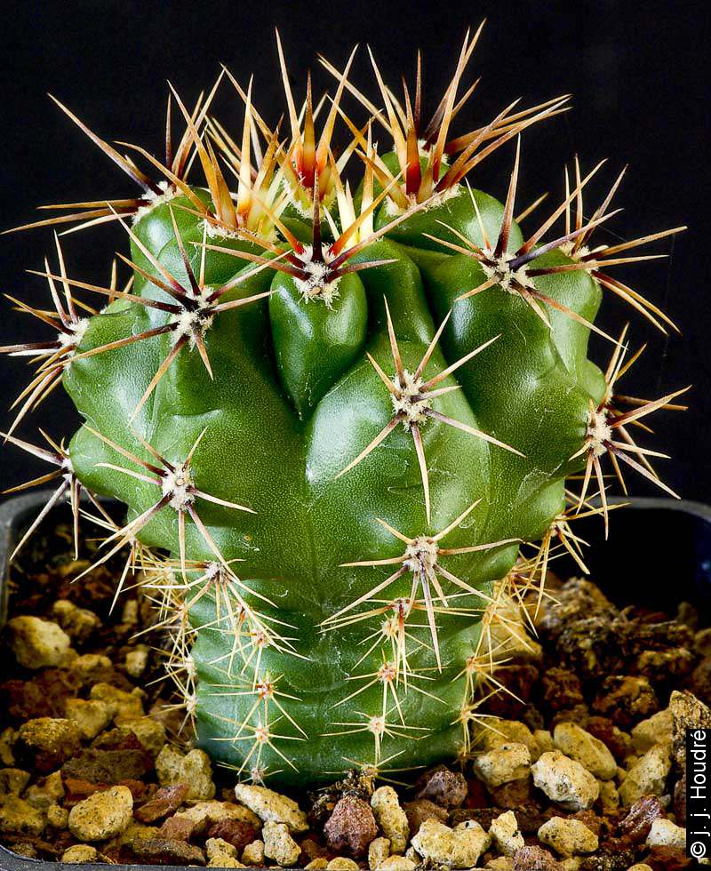 Gymnocalycium achirasense JPR 102-242. Sujet de 3 ans issu d'un semis de graines Mesa Garden réf : 453.922. Origine : Achiras, Cerro Itihuasi, Cordoba, Argentine 550m
