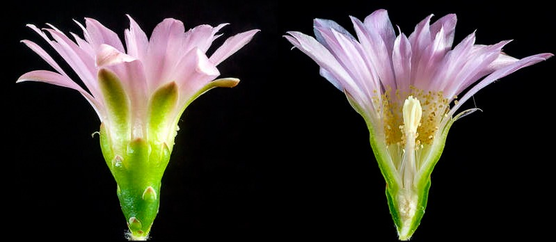 Coupe longitudinale d'une fleur de G. achirasense