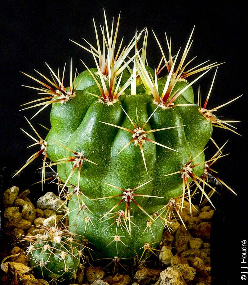 Gymnocalycium achirasense v. villamercedense GN 88-79/196, Sujet de 3 ans issu de semis de graines Kakteen-Piltz (référence : 2007/3426)