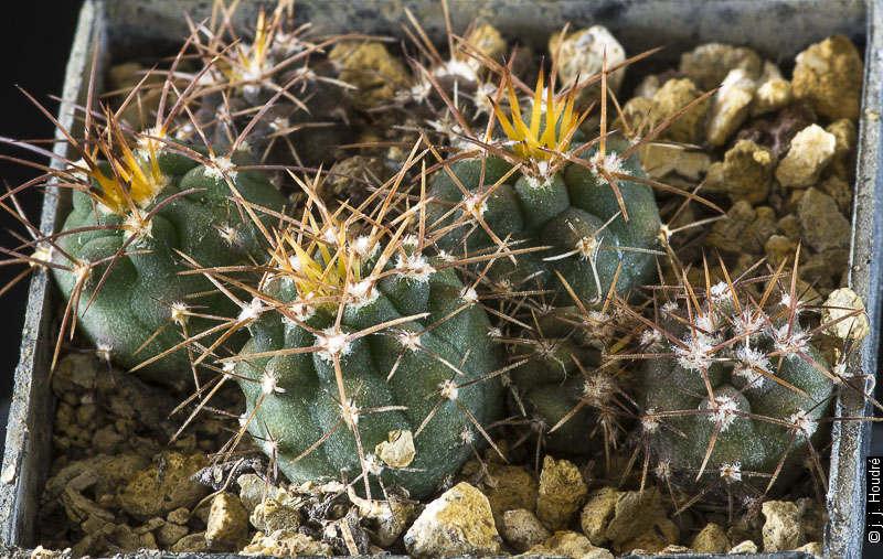 G. acorrugatum RFPA 295.01