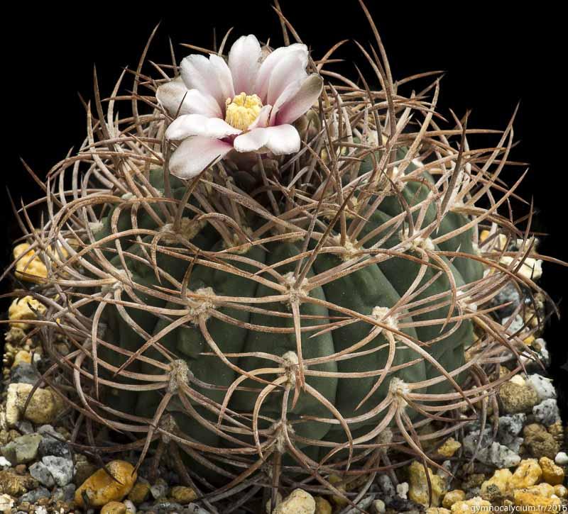 Gymnocalycium acorrugatum STO 901. Autre sujet du même semis à 10 ans.