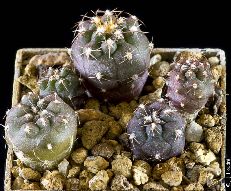 Gymnocalycium albiareolatum RFPA 306.01