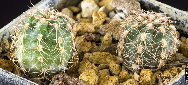 Gymnocalycium amoenum VS 913, La Mudana, 1219 m, Cordoba, Argentine. <br />Sujets de 2 dans issus d'un semis de graines Ludwig Bercht, réf. : 2012/