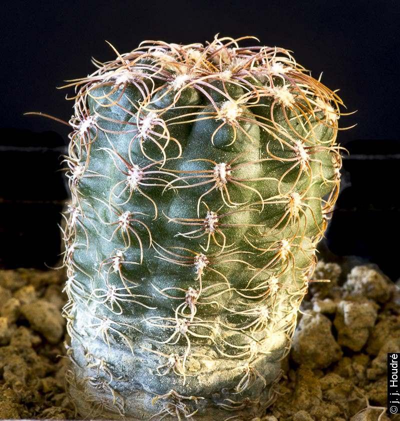 Gymnocalycium andreae ssp carolinense GN 88-104