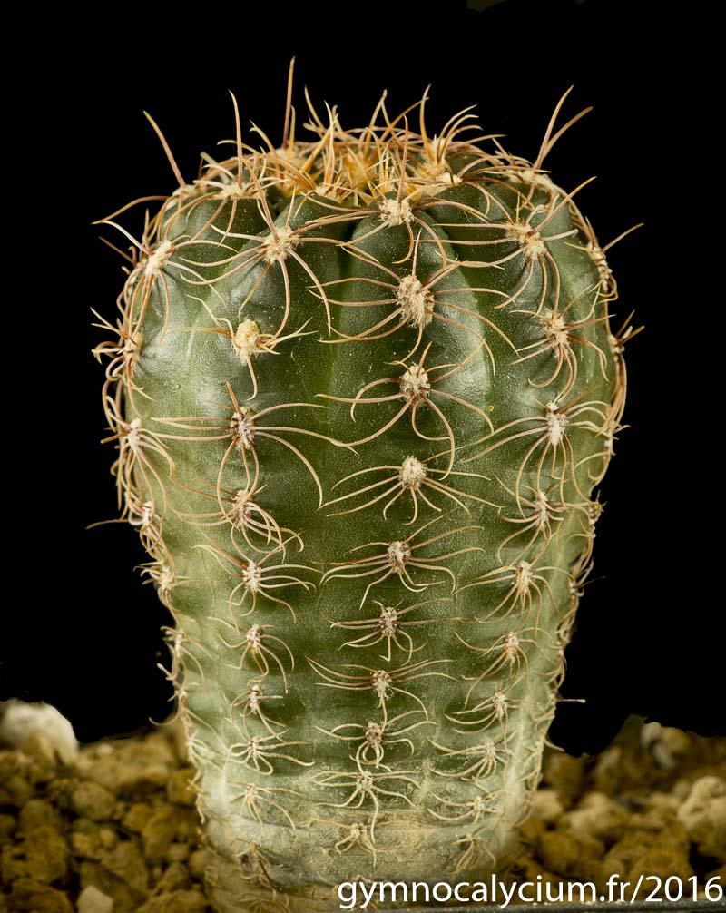 Gymnocalycium carolinense (acheté sous le nom de Gymnocalycium andreae ssp carolinense GN 88-104/259), Piedras Blancas, San Luis, Argentine 1500m