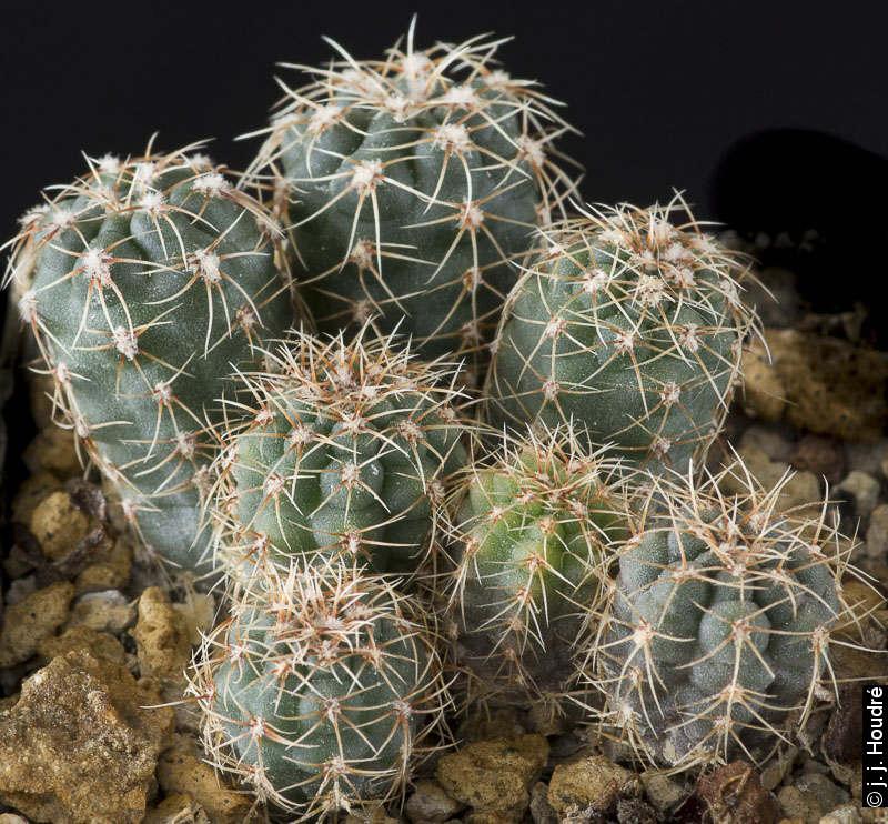 Gymnocalycium andreae ssp pabloi GN 99-1051/3728. Graines G. Neuhuber