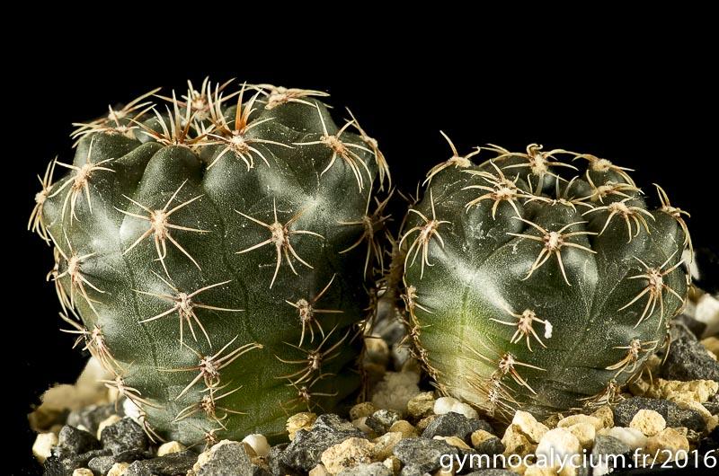 Gymnocalycium andreae ssp pabloi CH 1151