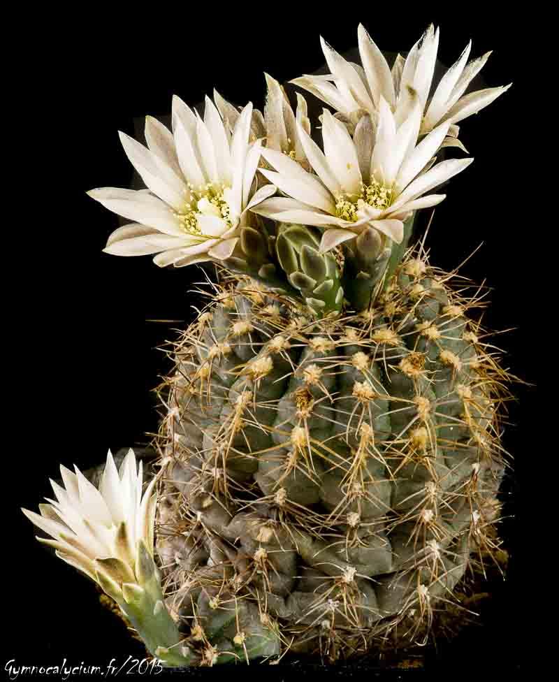 Gymnocalycium bruchii subsp. matznetteri fa. svecianum (G. andreae v. svecianum ?)