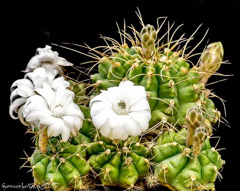 Gymnocalycium anisitsii ssp damsii. Même sujet