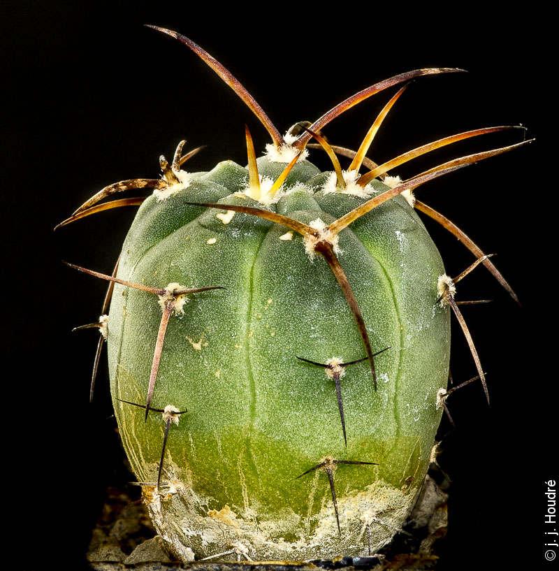 Gymnocalycium armatum LF 597. Huerta ,Bolivie, 2672 m.Sujet d'un an issu de semis de graines L. Bercht réf. : 1893