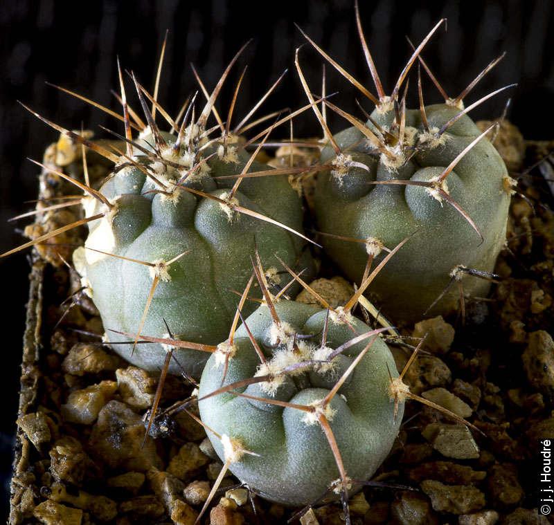 Gymnocalycium cardenasianum (armatum JO 974).