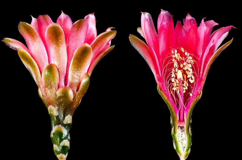 coupe longitudinale d'une fleur