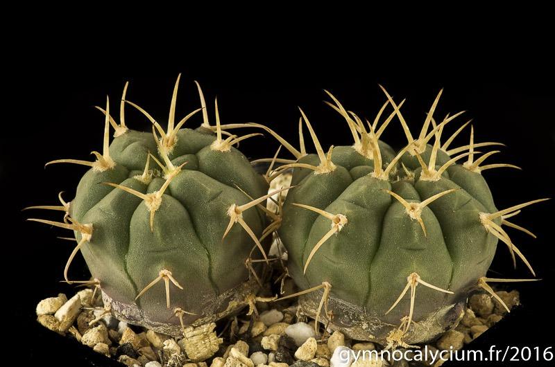 Gymnocalycium bayrianum ssp brevispinum XVJ 49