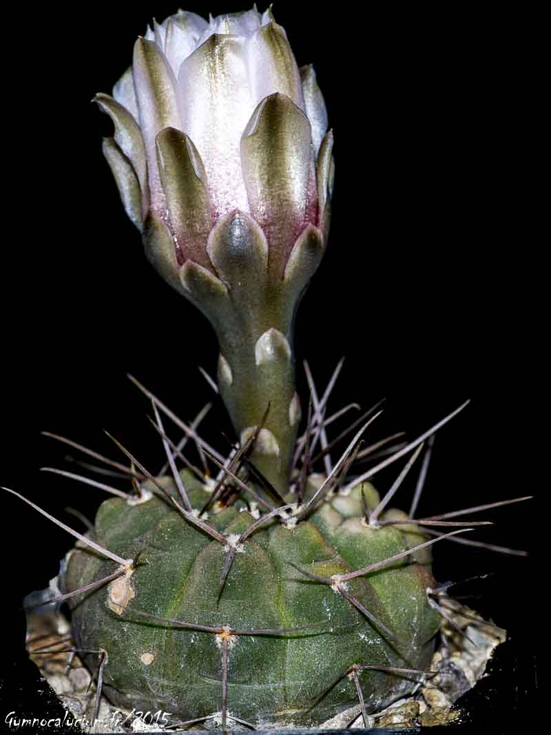Gymnocalycium bodenbenderianum v. mirandaense P 222