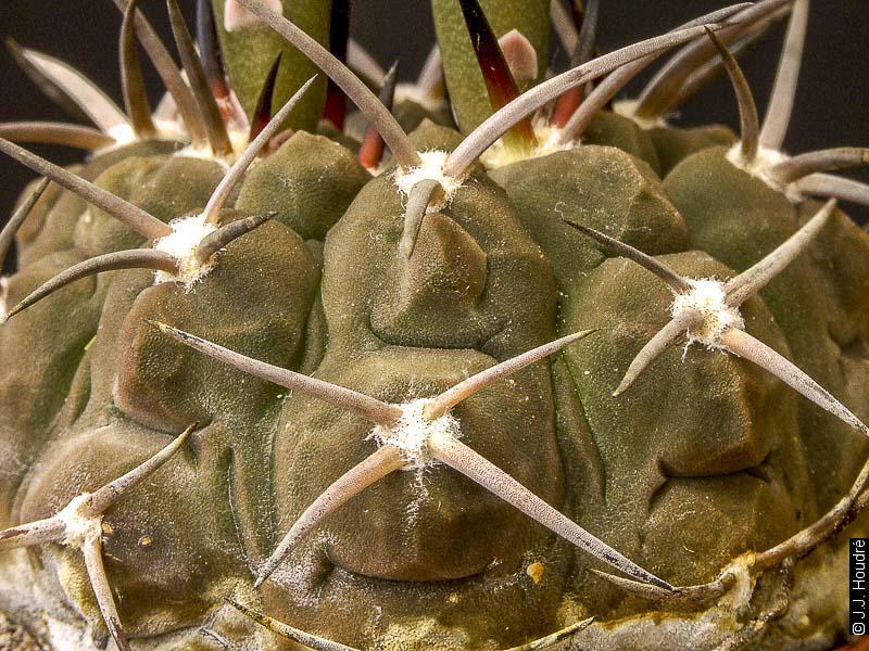 Gymnocalycium bodenbenderianum ssp piltziorum