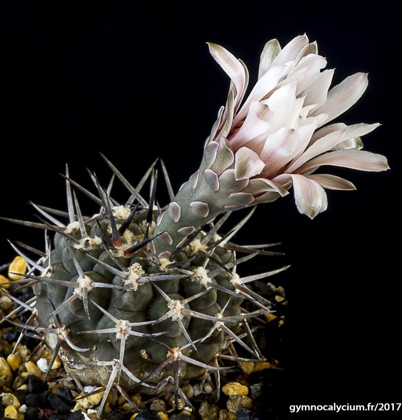 Gymnocalycium bodenbenderianum ssp piltziorum P 38
