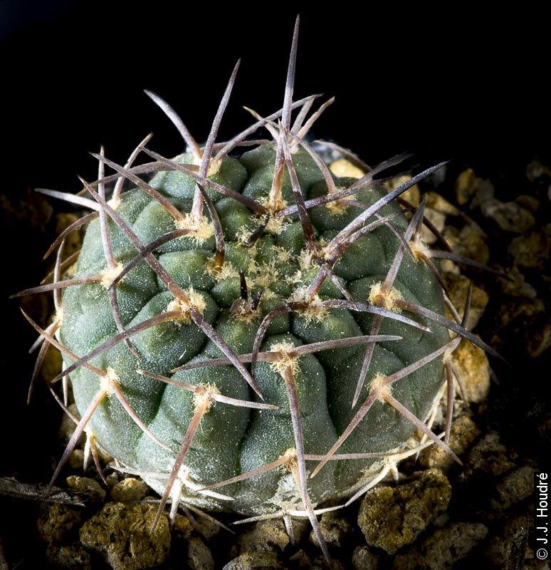 G. bodenbenderianum v. pipanacoense P 140