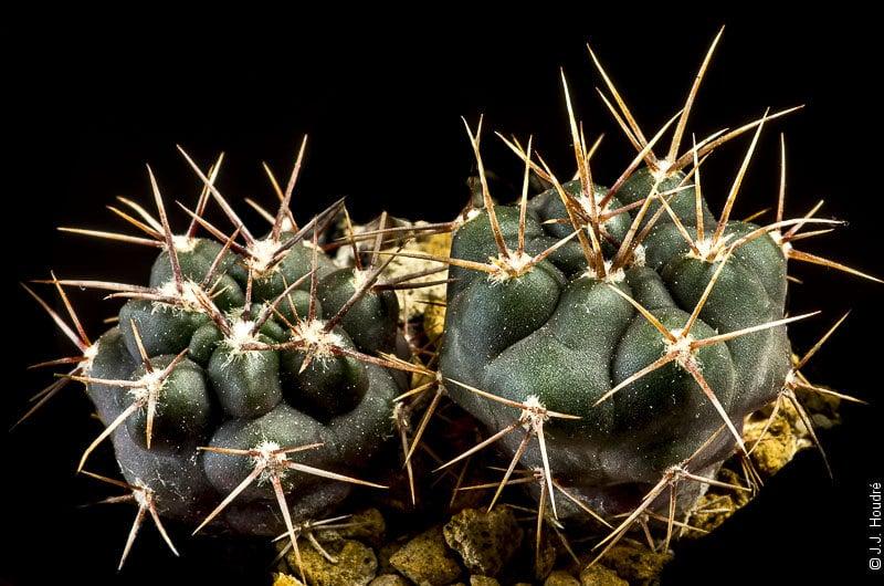 Gymnocalycium gibbosum ssp borthii v. nogolense-JO 1441.1