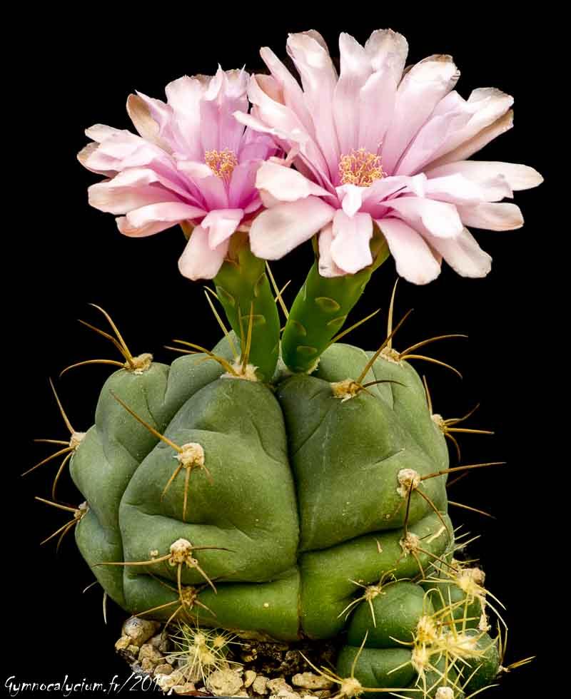 Gymnocalycium horstii ssp buenekeri