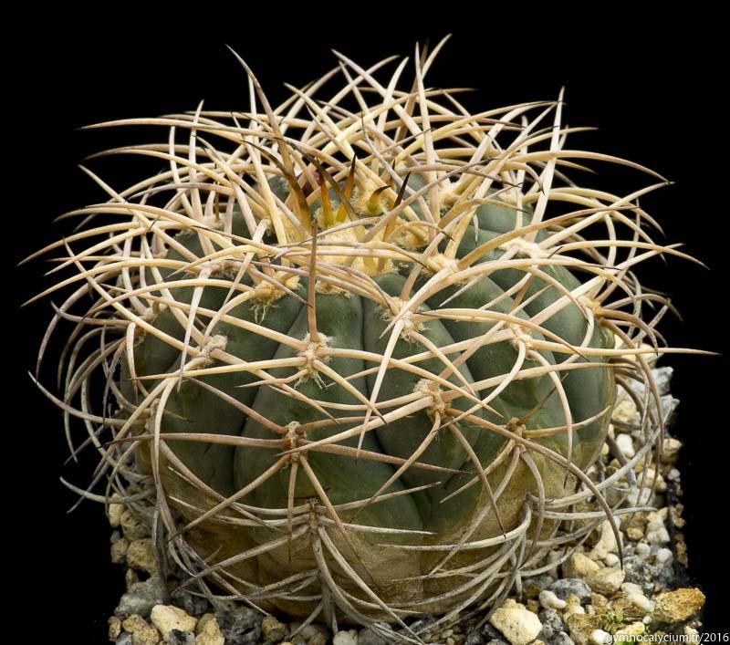 Gymnocalycium cardenasianum. Origine H. Kuentz