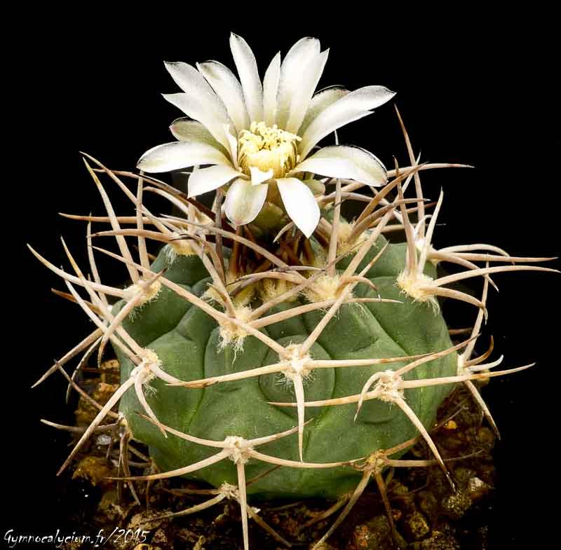 Gymnocalycium castellanosii ssp castellanosii P 393.