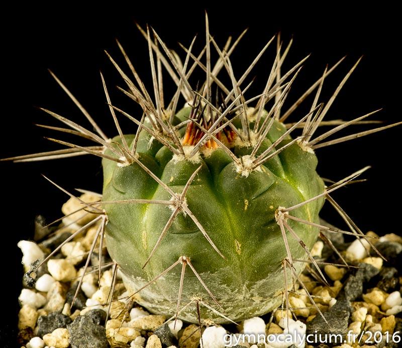 Gymnocalycium castellanosii v. armillatum P 217. Même sujet à 5 ans.