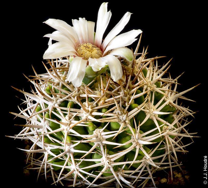 Gymnocalycium castellanosii ssp ferocius