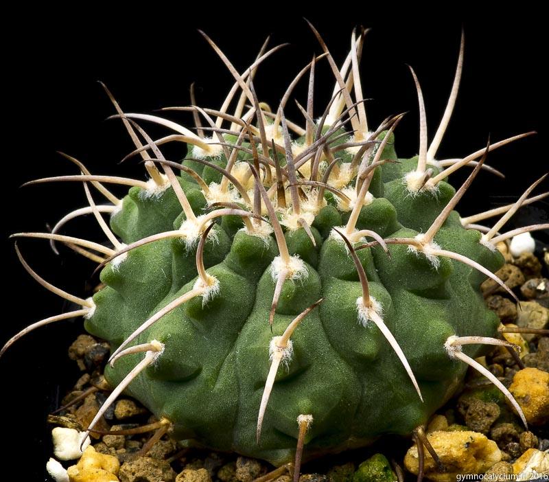 Gymnocalycium pugionacanthum (catamarcense P 72). Même sujet à 9 ans.