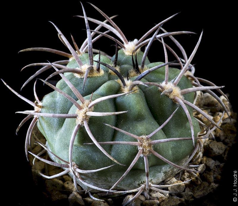 Gymnocalycium catamarcense fma. belenense P 73c