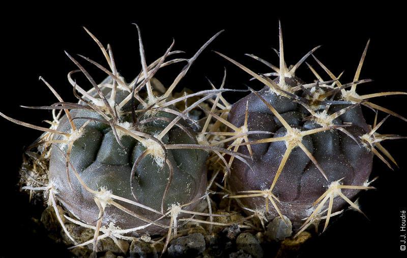 Gymnocalycium catamarcense ssp elegans TOM 527