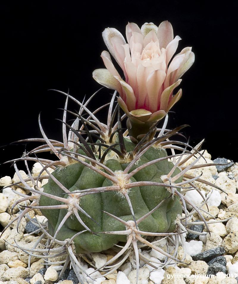 Gymnocalycium pugionacanthum (catamarcense fa. montanum P 73b)
