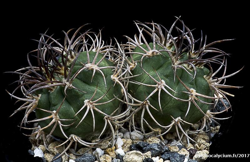 Gymnocalycium pugionacanthum (catamarcense fa. montanum P 73b