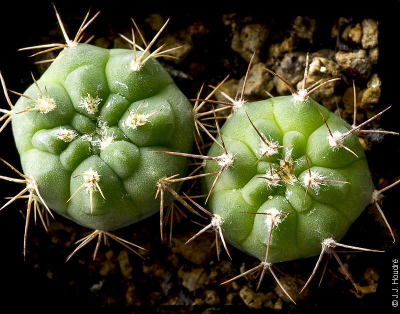 Gymnocalycium rhodantherum (coloradense STO 11).