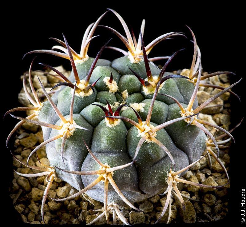 Gymnocalycium pflanzii ssp zegarrae (comarapense STO 924)