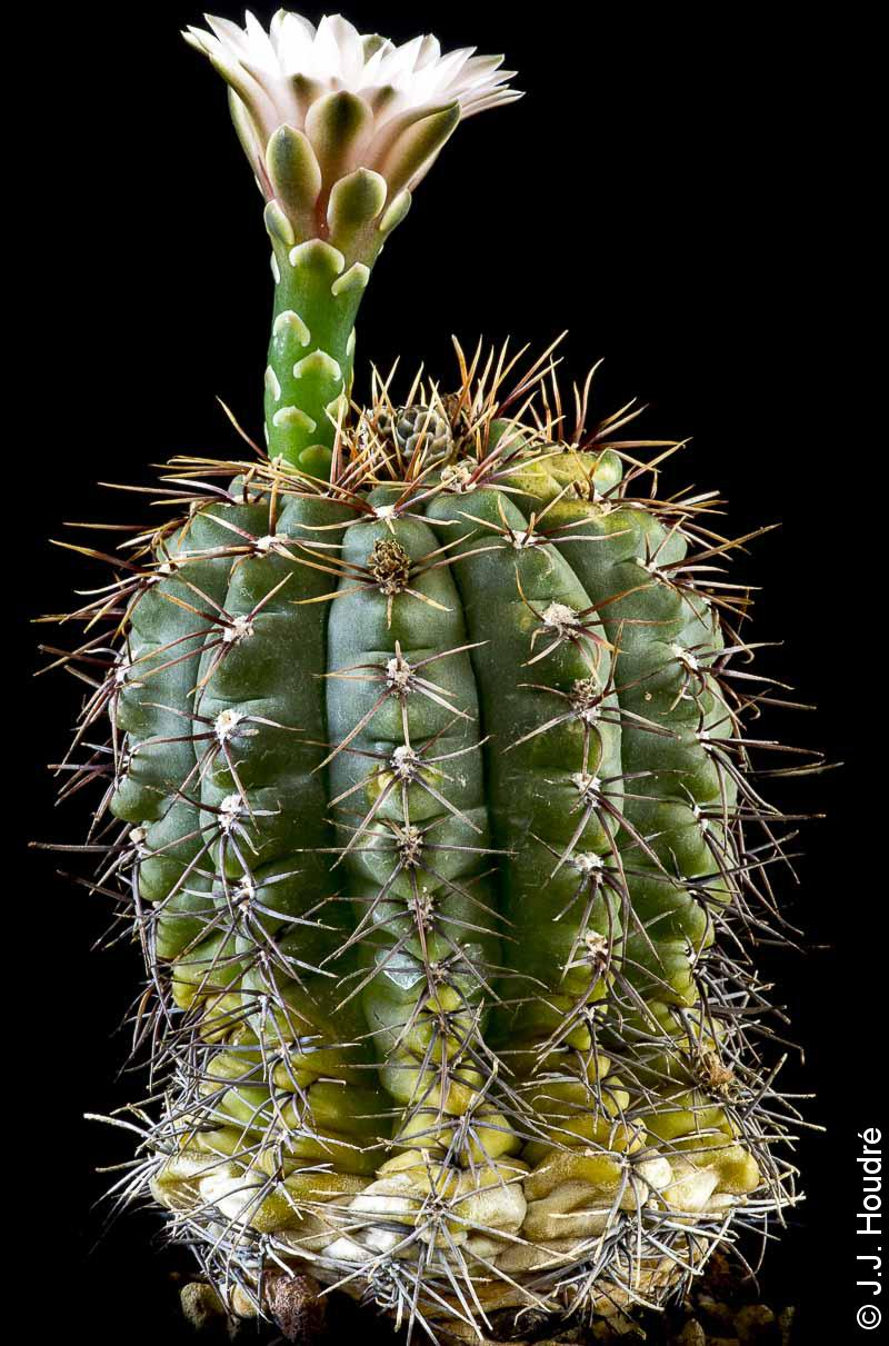 Gymnocalycium deeszianum