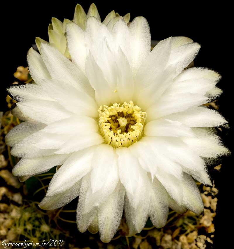 Gymnocalycium denudatum ssp angulatum GF 302