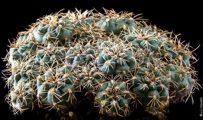 Gymnocalycium erinaceum RFPA 207-01