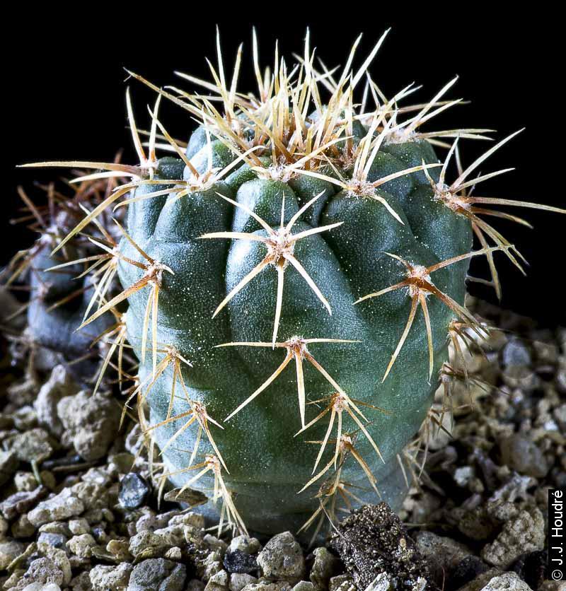 Gymnocalycium fischeri ssp suyuquense HV 700