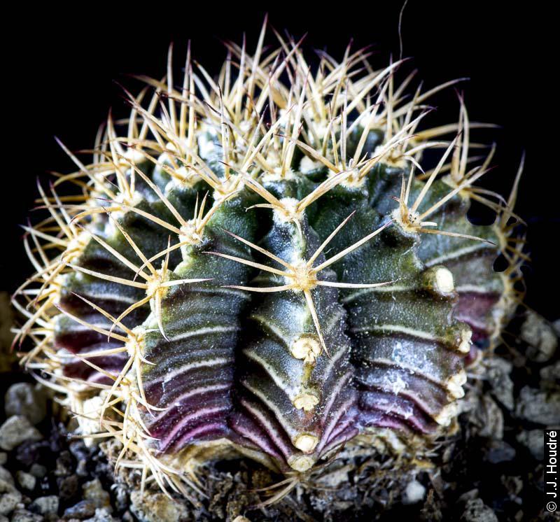 Gymnocalycium friedrichii v. albiflorum VOS 61