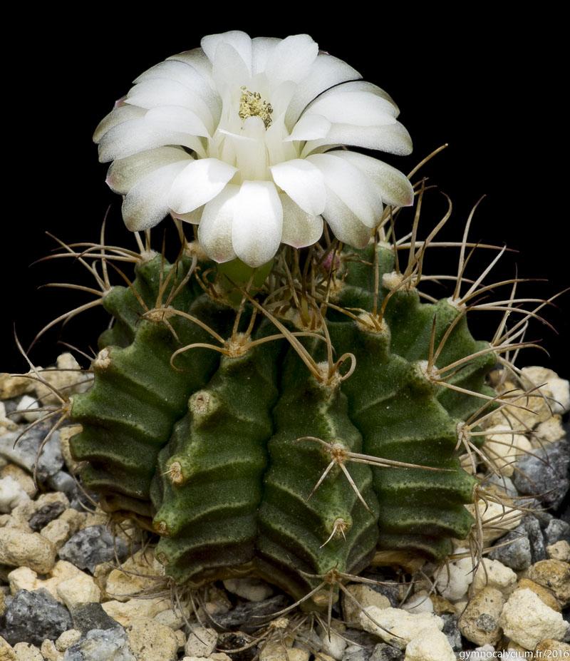 Gymnocalycium friedrichii v. bolivianum VoS 61. Même sujet à 8 ans.