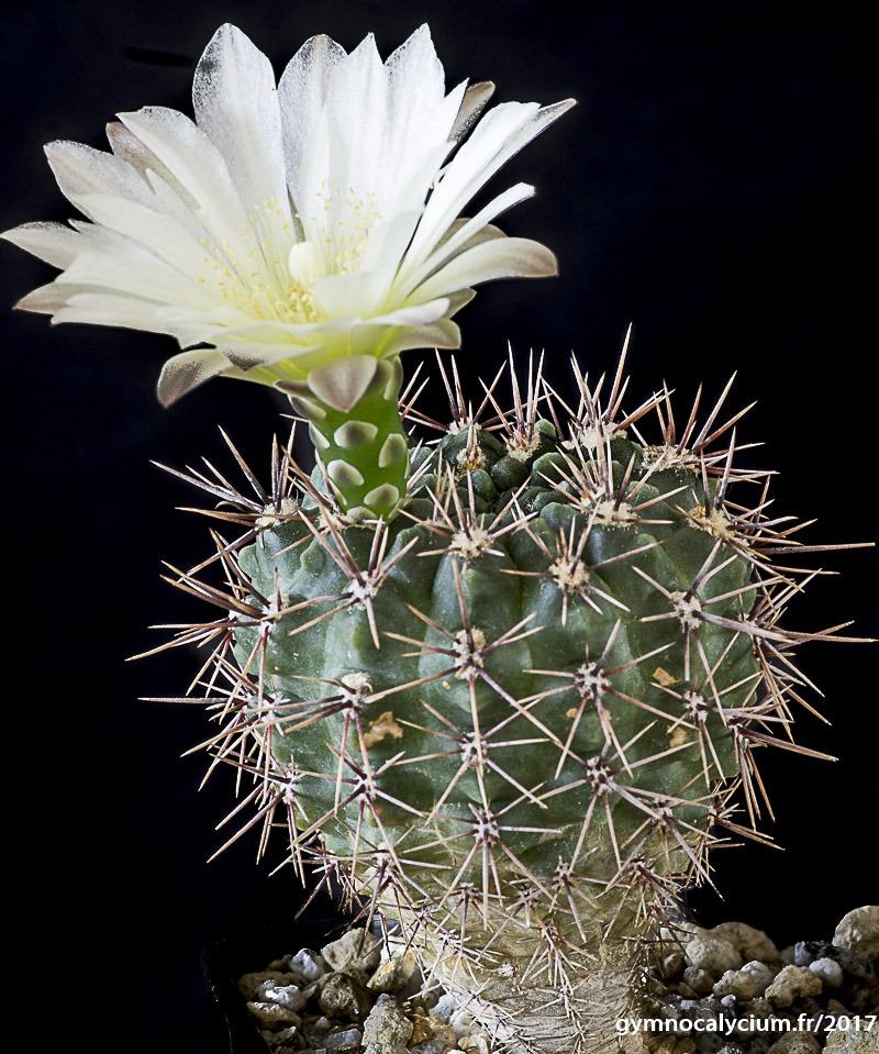 Gymnocalycium gibbosum ssp ferdinandii JPR 92-21/55