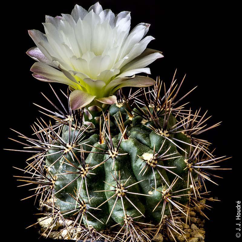 Gymnocalycium gibbosum ssp gastonii JPR 90-22/56