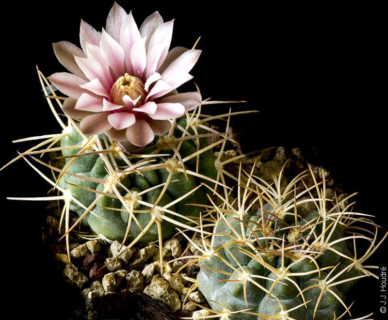 Gymnocalycium guanchinense VS 39
