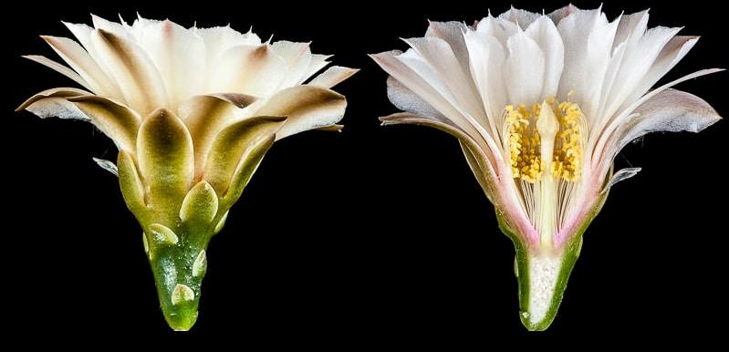 Gymnocalycium heuschkelianum. Coupe longitudinale d'une fleur
