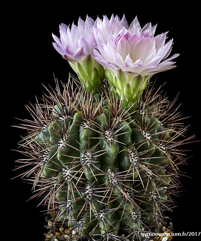 Gymnocalycium horridispinum ssp achirasense v. chacrasense LB 352