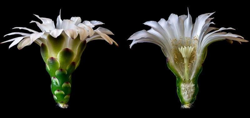 Gymnocalycium horstii AH 67