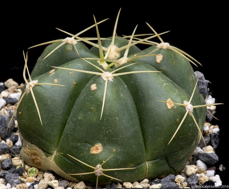 Gymnocalycium horstii ssp horstii LB 923. 7km East of Minas do Camaqua, Rio Grande do Sul, Brazil. <br />Sujet de 6 ans origine Jacques Huet.