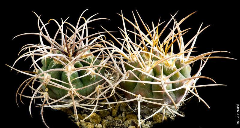 Gymnocalycium hossei v. polycephalum P 223.