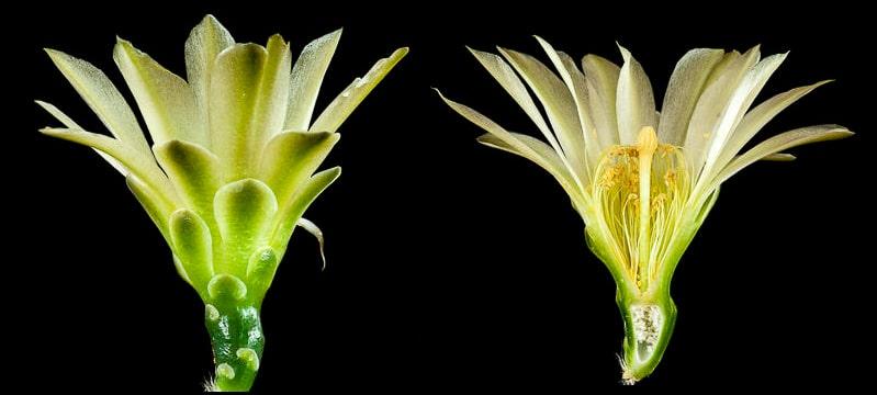 Gymnocalycium hyptiacanthum ssp netrelianum