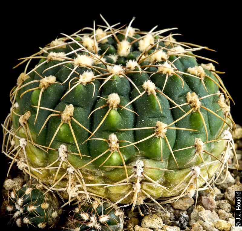 Gymnocalycium hyptiacanthum ssp uruguayense LB 738